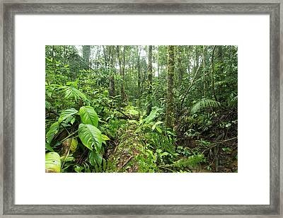 Fallen Tree In Rainforest Framed Print