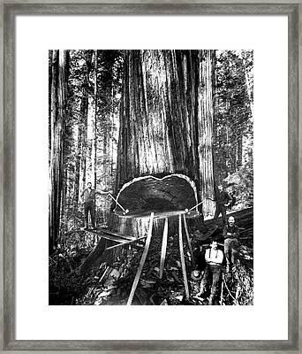Falling A Giant Sequoia C. 1890 Framed Print