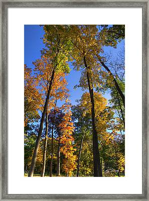 Falling Up The Maples Framed Print by Ed Cilley