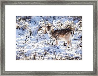 Fallow Deer In Winter Wonderland Framed Print
