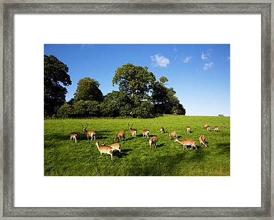 Fallow Deer In The Demesne, Doneraile Framed Print