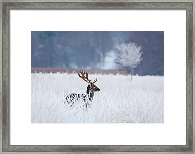Fallow Deer In The Frozen Winter Landscape Framed Print by Allan Wallberg