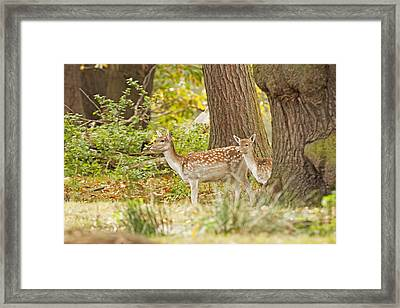Fallow Deer Woodland Scene Framed Print by Paul Scoullar