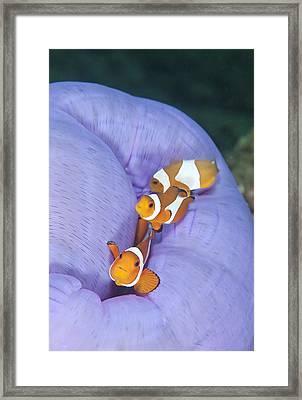 False Clown Anemonefish Framed Print by Andrew J. Martinez