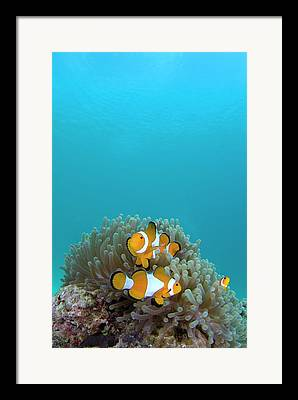 Clown Anemonefish Framed Prints