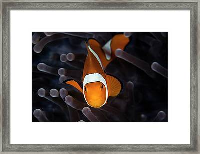 False Clownfish Framed Print by Ethan Daniels