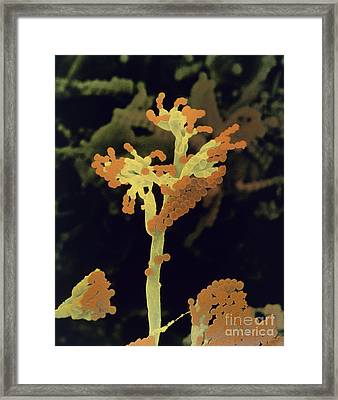 False Color Sem Of Fruiting Bodies Framed Print