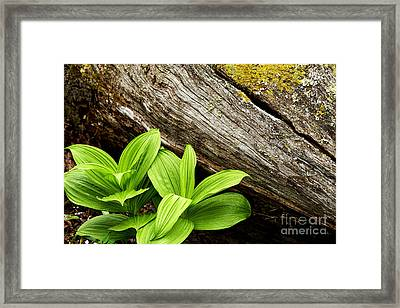 False Hellebore Fallen Log Framed Print by Thomas R Fletcher