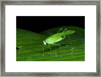 False Leaf Katydid Framed Print
