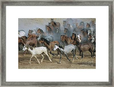 Family Band Of Mustangs  Framed Print