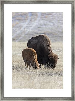 Bison Calf Having A Meal With Its Mother Framed Print