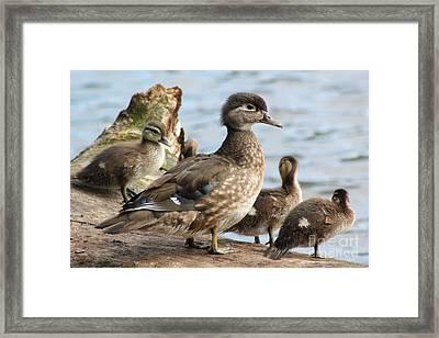 Family Of Ducks Framed Print by Michael Paskvan