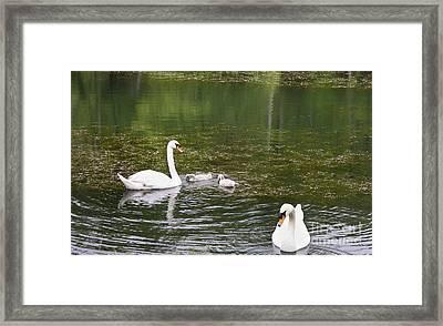 Family Of Swans Framed Print by Teresa Mucha