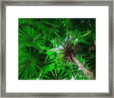 Fan Palm Tree Of The Rainforest Framed Print by Peta Thames