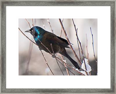 Framed Print featuring the photograph Fancy Aggressor by John Harding
