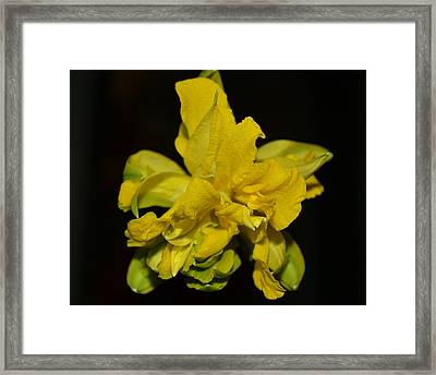 Framed Print featuring the photograph Fancy Daffodil by Mary Zeman