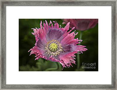 Framed Print featuring the photograph Fancy Poppy by Vicki DeVico