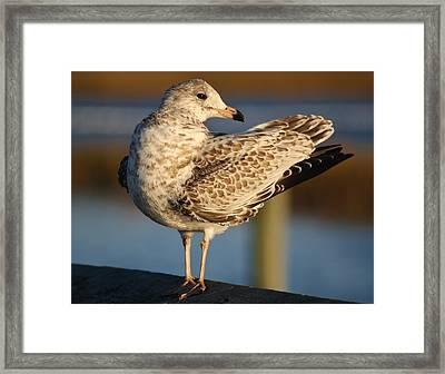 Fancy Sea Gull Framed Print by Paulette Thomas