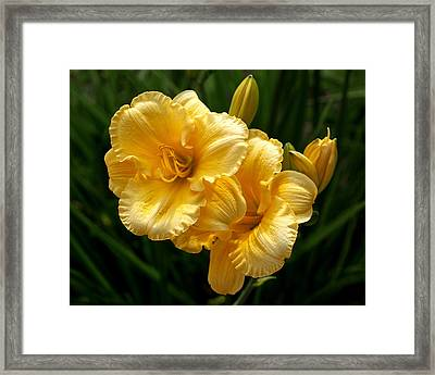 Fancy Yellow Daylilies Framed Print by Rona Black