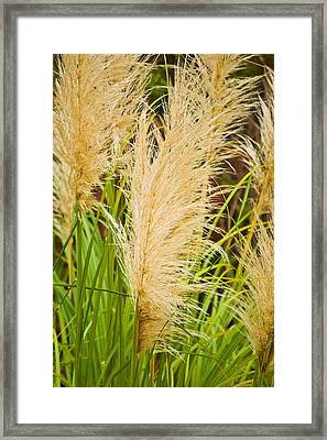 Fans In The Grass Pla 497 Framed Print