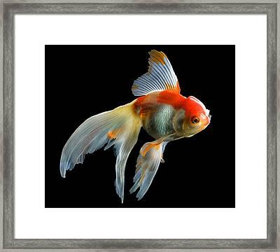 Fantail Goldfish Framed Print
