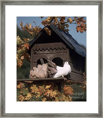 Fantail Pigeons At Birdhouse Framed Print by Hans Reinhard