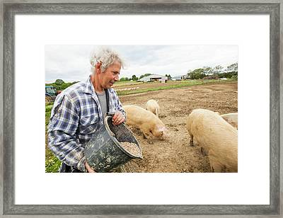 Farmer Feeding Organic Middle White Pigs Framed Print by Ashley Cooper