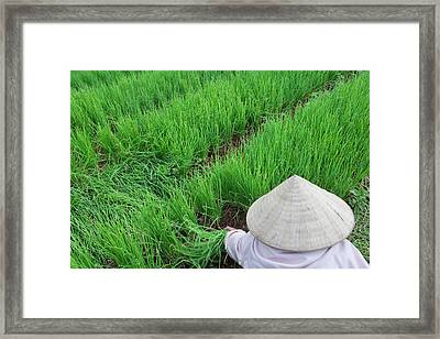 Farmer With Conical Hat Harvesting Framed Print by Keren Su