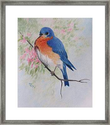 Fat And Fluffy Bluebird Framed Print by Mary Rogers