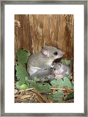 Fat Dormouse Mother Nursing Young Framed Print by Konrad Wothe