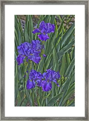 Faux Painted Irises Framed Print by Penny Lisowski