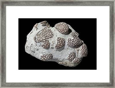 Favosites Coral Fossils Framed Print by Dirk Wiersma