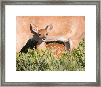 Fawn And Mom Framed Print