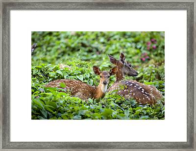Fawn And Mother Deer In Forest Framed Print by Paul Kennedy