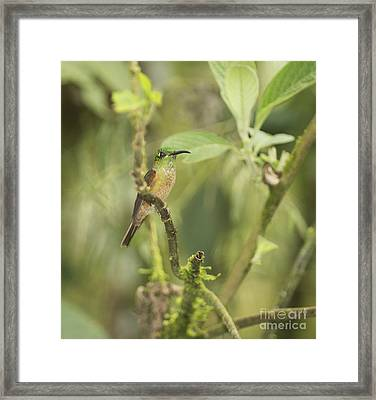 Fawn-breasted Brilliant Hummingbird Framed Print