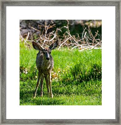Fawn - Capitol Reef National Park - Utah Framed Print by Gary Whitton