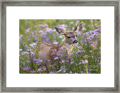 Fawn In Asters Framed Print