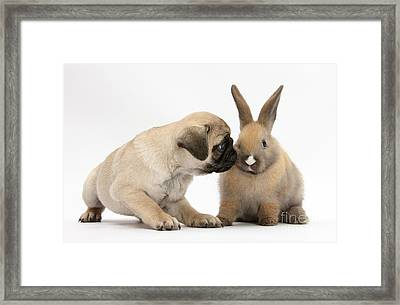 Fawn Pug Pup With Young Rabbit Framed Print