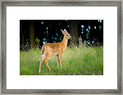 Fawn Framed Print by Shane Holsclaw