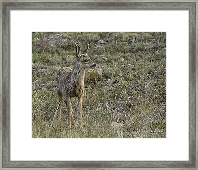 Fawn Framed Print by Tom Wilbert