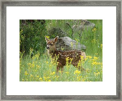 Fawn In Evergreen Colorado Framed Print