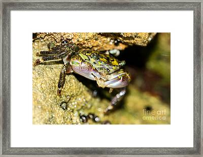 Feasting Crab Framed Print by Michelle Burkhardt