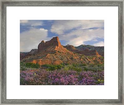 Feather Dalea Flowering Caprock Canyons Framed Print by Tim Fitzharris