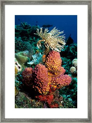 Feather Duster Sabellastarte Magnifica Framed Print by Andrew J. Martinez
