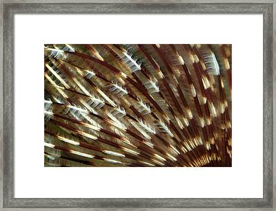Feather Duster Worm Abstract Framed Print