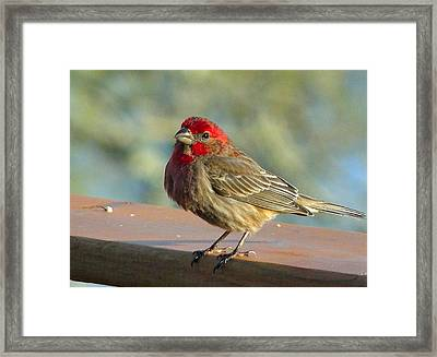 Feathered Friend Framed Print by Cindy Croal