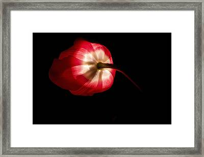 Feathery Tulip Framed Print by Andrew Soundarajan