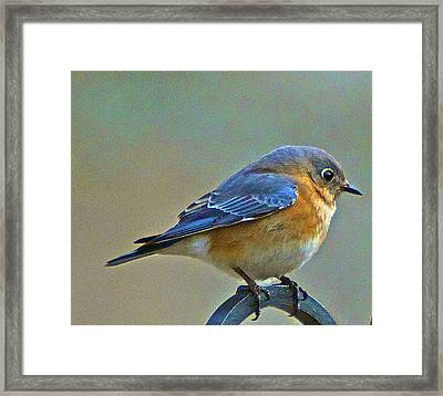 Febuary Bluebird  Framed Print by Constantine Gregory
