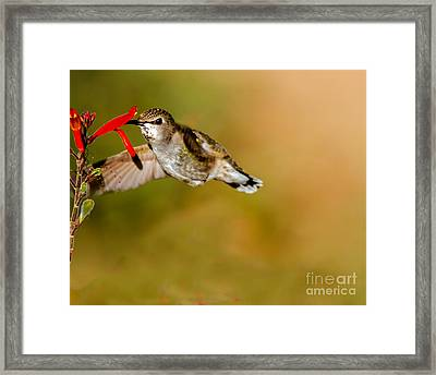 Feeding Anna's Hummingbird Framed Print