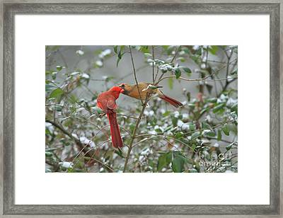 Feeding Cardinals Framed Print by Geraldine DeBoer